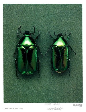 Mint Leaf Beetle aka Chrysolina herbacea